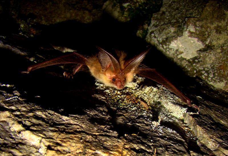 Дългоухите прилепи (Plecotus spp.) са завират в скални цепнатини по изключение. Големи му уши го правят лесно разпознаваем и симпатичен вид прилеп/ Сн. Plecotus_auritus (автор. Б. Петров)