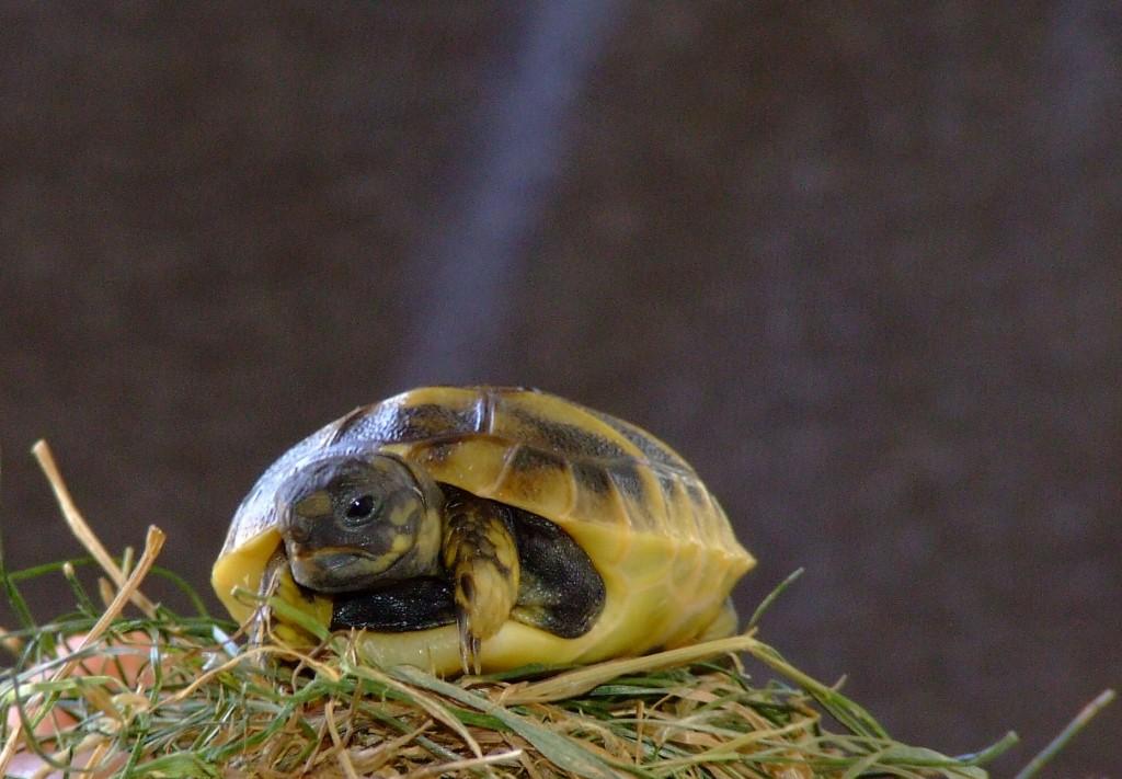 Шипоопашата костенурка (Testudo hermanni)
