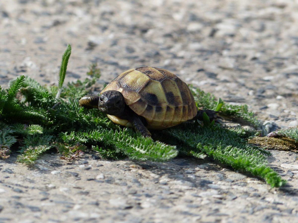 Сухоземни костенурки