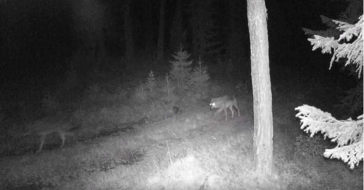 Семейна група вълци в Национален парк Рила (видео)