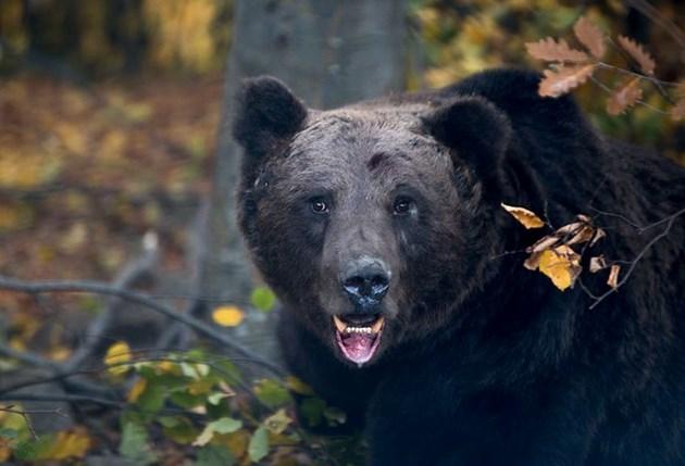 """GPS телеметрия на мечки в Национален парк """"Централен Балкан"""""""