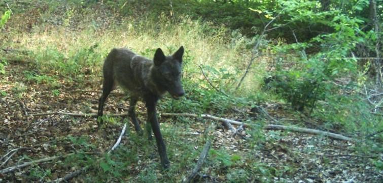Тъмните вълци – хибриди или не?