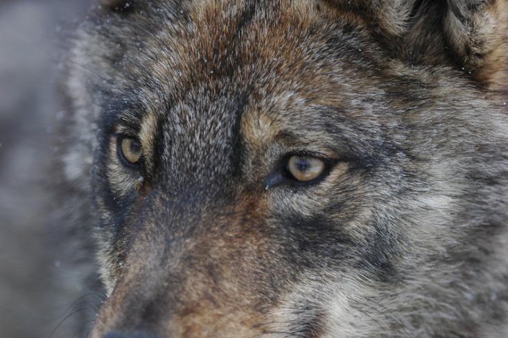 За хибридите между вълци и други видове в България