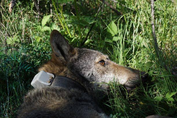 Помогни ни в търсенето на вълчицата с GPS нашийник от Пирин