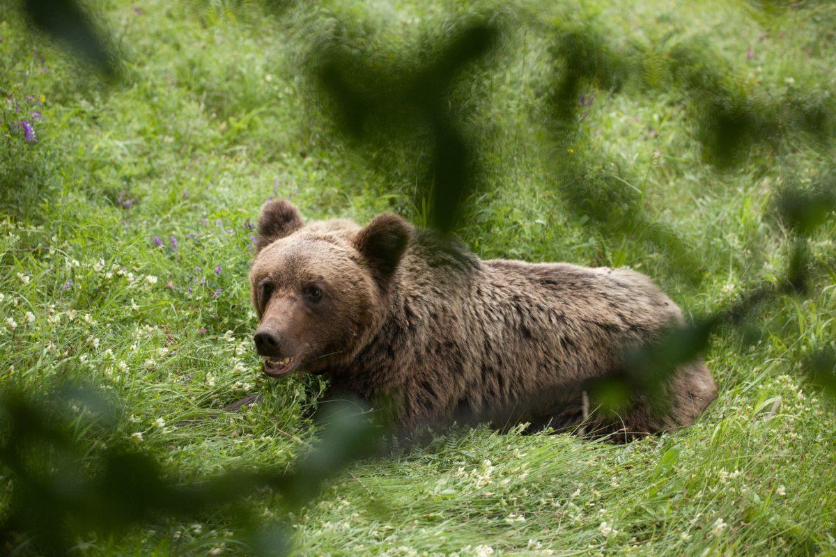 Планината ни зове, но да не забравяме за възможни срещи с горските домакини – мечките