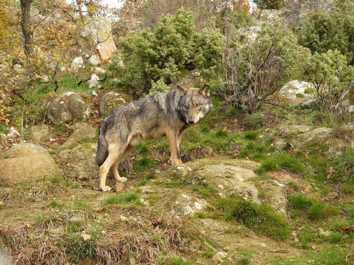 За храната на вълка според Плана за действие за вида
